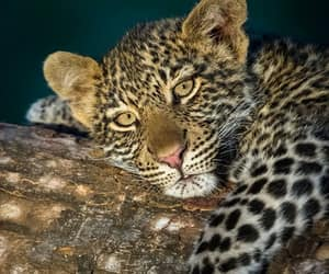baby animals, big cats, and cute animals image