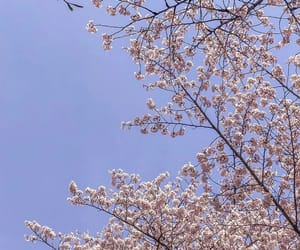 beauty, blue, and cherryblossom image