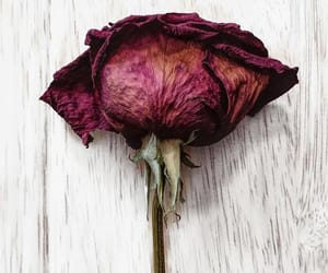 dead, flower, and rose image
