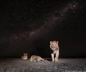 animals, night, and lions image