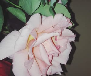 flower, pink rose, and petals image