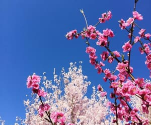 beautiful, blue, and cherry blossom image