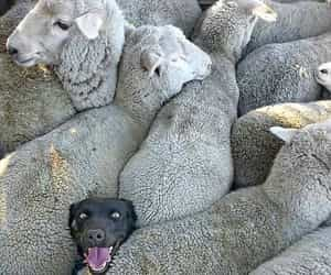 dog, animal, and sheep image