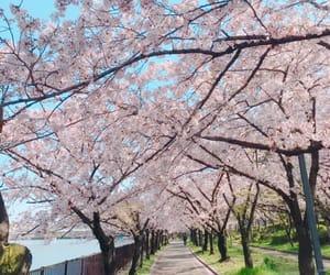blossom, blue, and cherry blossom image