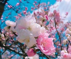 blue, cherry blossom, and flower image