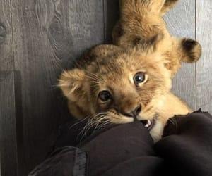 animal, lion, and beautiful image