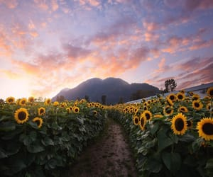 photography and sunflower image