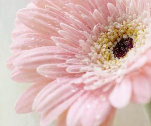 flowers, pink, and gerbera image