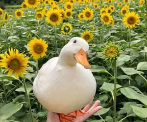 duck, cute, and sunflower image