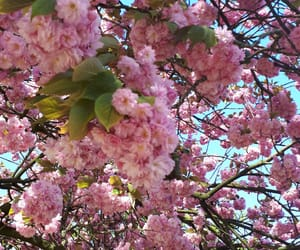 april, bloom, and cherry blossom image