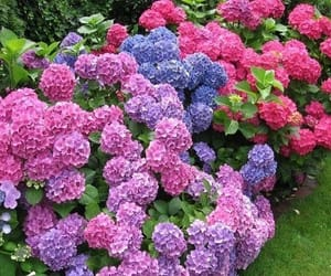 flowers, hydrangea, and flowering image