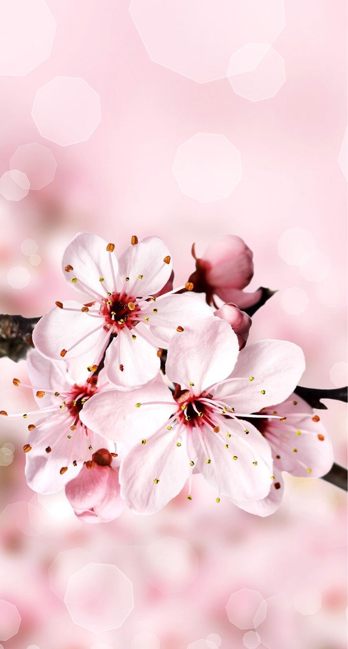 Cherry Blossom Wallpaper Uploaded By Lucian