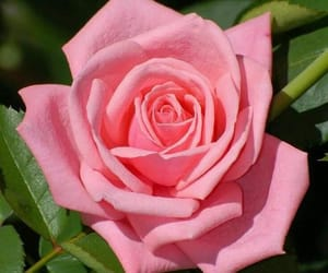 flower, pink, and pink rose image