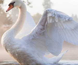 Swan, animal, and bird image
