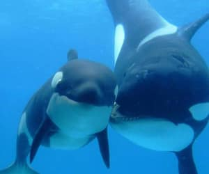 killer whale, the orca, and whale teefs image
