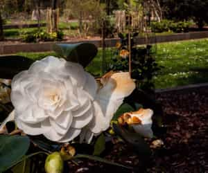 flowers and camelia image