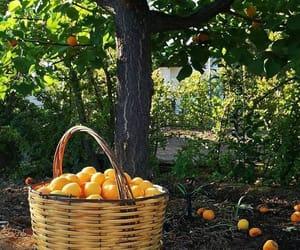 fruit, orange tree, and oranges image