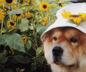 dog, sunflower, and fluffy image