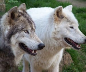 animal, wolves, and nature image