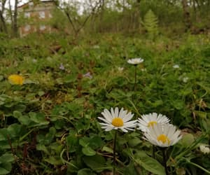 country, daisy, and garden image