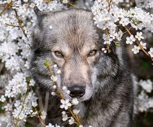 wolf and flowers image