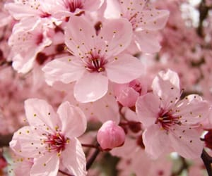 flower, flowers, and pink blossom image