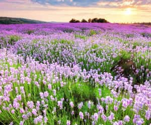 flowers, lavender, and meadow image