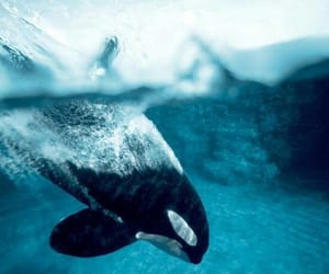 animal, sea, and orca image