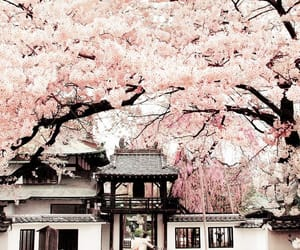 cherry blossoms, wanderlust, and flowers image