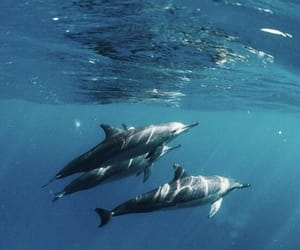 animal, dolphins, and ocean image