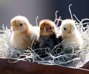 Chicken, nest, and cute image