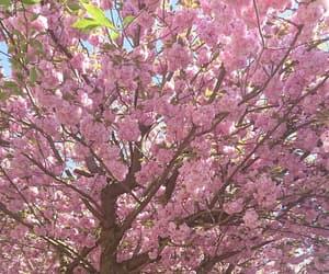 beautiful, blossom, and cherryblossom image