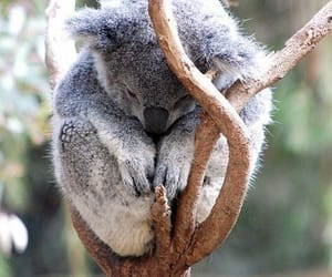 Koala, animal, and sleeping image