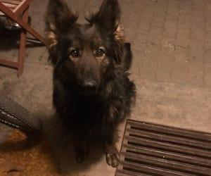 dog, german shepherd, and mascóta image