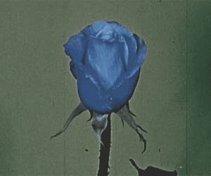blue, plant, and roses image