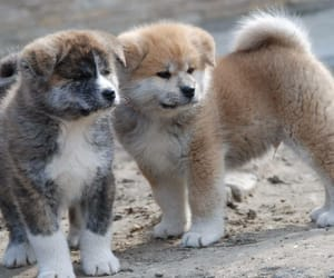 akita, animals, and dogs image
