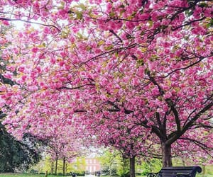 cherry blossom, flores, and flowers image