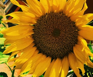 flower, sunflower, and photo image