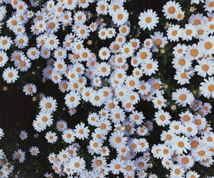 daisies, daisy, and flowers image