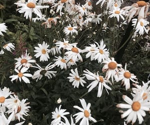 daisies, flower, and summer image
