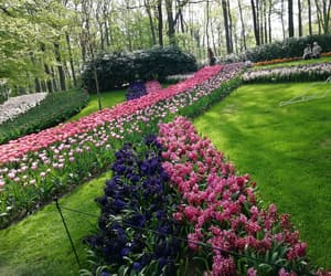flower, tulips, and flowers image