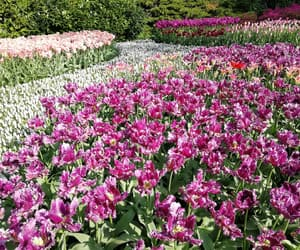 tulips, flower, and flowers image