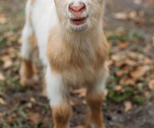 animal, cutie, and goat image