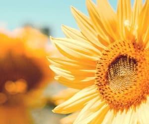 sun flower, yellow, and spring break image