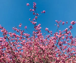 aesthetic, blue, and cherry blossom image