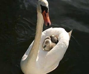 animal, Swan, and baby image