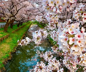 beautiful, cherry blossom, and garden image