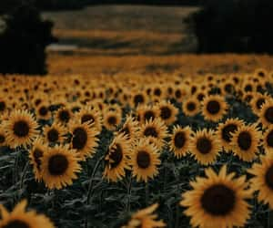 sunflower, flowers, and field image
