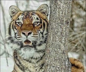 Animales, belleza, and tigre image
