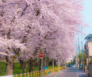 beauty, cherryblossom, and pink image